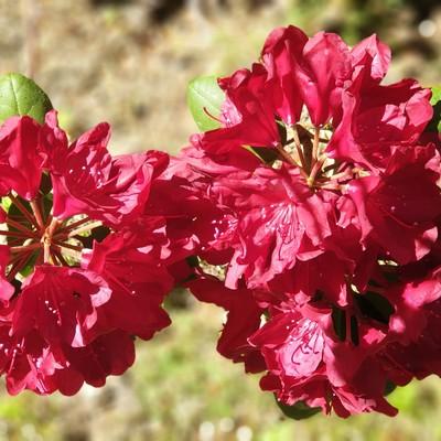 Rhododendron im Park Janes Karlsbad