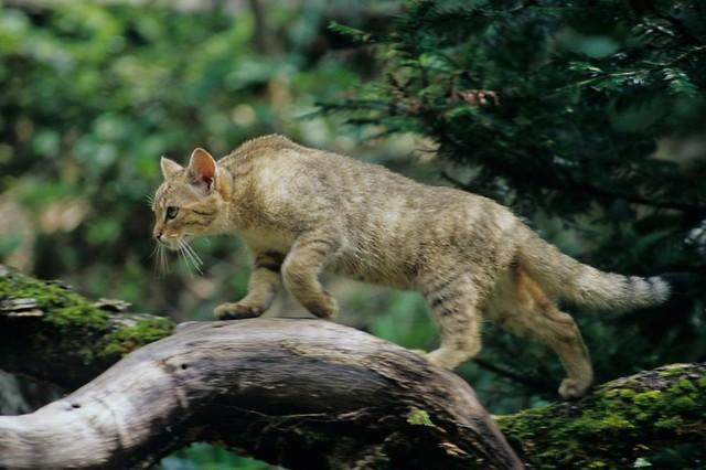 Wildkatzen Erlebnispfad Bad Herrenalb